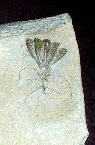 Gissocrinus