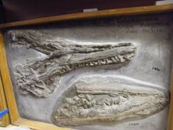 5OUMNH_Marine Reptile Remains.JPG