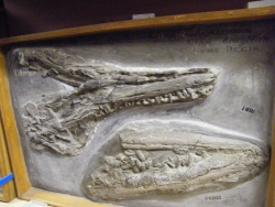 5OUMNH_Marine Reptile Remains.JPG
