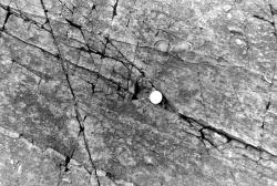 1978-BCGS-April16-Charniodiscus-2.jpg