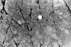 1978-BCGS-April16-Charniodiscus-4.jpg